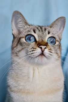 Free Portrait Of Blue-eyed White Cat Stock Photography - 31516422