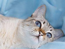 White Cat With Aquamarine Eyes Royalty Free Stock Photo