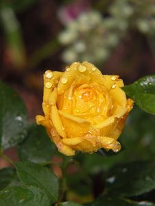 Free Raindrops On Yellow Rose Stock Photos - 31516503