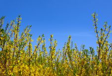 Free Blossoming Forsythia Royalty Free Stock Image - 31517026
