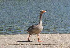 Free Greylag Goose. Stock Photos - 31518323