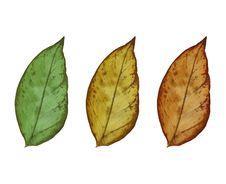 Free Leaf Isolated On White Background Royalty Free Stock Photo - 31519505