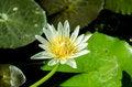 Free Lotus In Pond Stock Image - 31524081