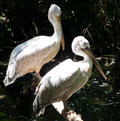 Free Pelican Royalty Free Stock Photography - 31526027