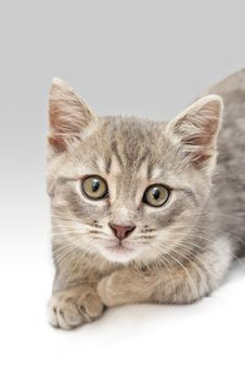Kitten Portrait Royalty Free Stock Images