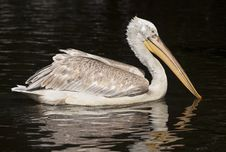 Free Beautiful Pelican Royalty Free Stock Photo - 31523785