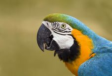 Free Colorful Macaw Parrot Royalty Free Stock Images - 31523819