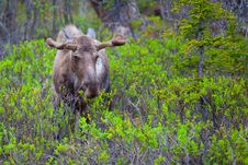 Free Young Moose Royalty Free Stock Photos - 31524898