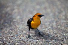 Free Yellow Bird Stock Photography - 31525322