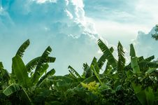 Free Banana Tree And Beautiful Cloud Royalty Free Stock Image - 31525436