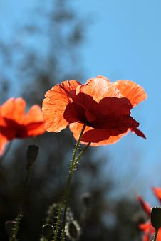 Free Field Poppies Stock Photography - 31526102