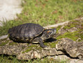 Free Painted Turtle Royalty Free Stock Photo - 31535985