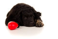 Free Portrait Of A Sleeping Dog With A Toy Stock Image - 31537311