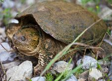 Snapping Turtle Royalty Free Stock Photo