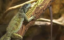 Free Green Agama Royalty Free Stock Photography - 31536007