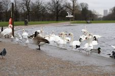 Swans In The Lake Royalty Free Stock Photo