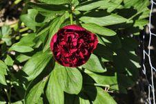 Free Single Peony Rose. Royalty Free Stock Photos - 31538458