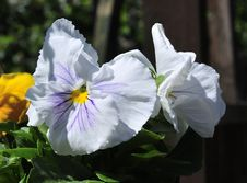 Free White Pansy. Royalty Free Stock Photos - 31538488