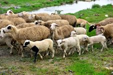 Healthy Sheep, Lambs And Livestock Royalty Free Stock Image