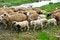 Free Healthy Sheep, Lambs And Livestock Royalty Free Stock Image - 31538536