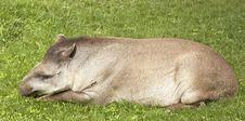 Free Tapir Stock Image - 31543231