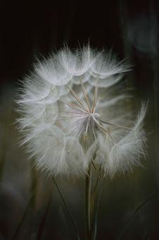 Free Dandelion Stock Photo - 31545550