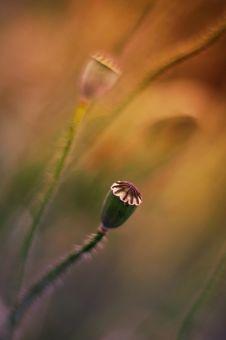 Free Poppy Royalty Free Stock Image - 31545786