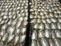 Free Drying Fish Stock Photos - 31557573
