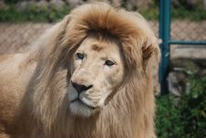 Free White Lion Portrait Royalty Free Stock Photography - 31550697