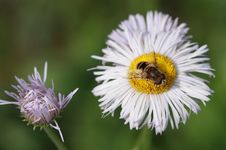 Free Daisy And Bee Stock Photo - 31554060