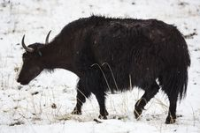 Free Yak Walking In The Snow Stock Photography - 31555132