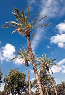 Free Flowering Date Palms. Royalty Free Stock Image - 31555816