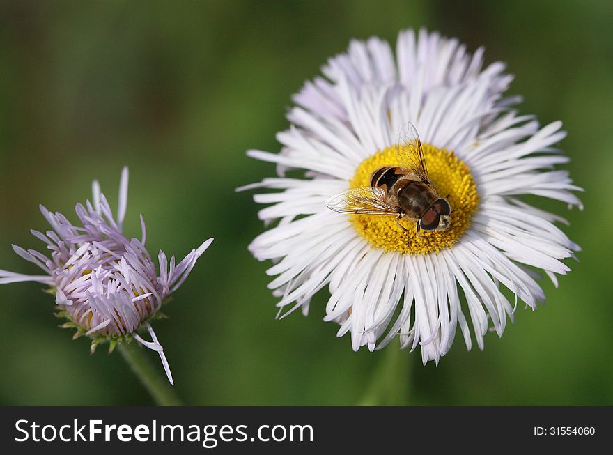 Daisy and bee