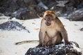 Free Thailand Monkey Royalty Free Stock Image - 31566086