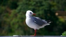 Free Seagull In The Green Stock Images - 31564364