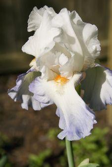 Blue&White Bearded Iris Stock Image