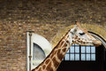 Free Giraffe In Zoo Royalty Free Stock Images - 31574699