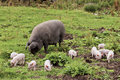 Free The Piglets Stock Photos - 31574733