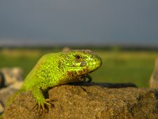 Free Green Lizard On A Stone Royalty Free Stock Photos - 31573068