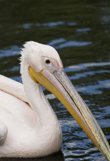 Free Pelican Portrait Stock Photography - 31573132
