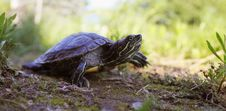 Free Turtle In The Grass Stock Photo - 31576990