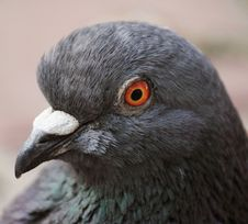 Pigeon &x28;Columba Livia&x29; Royalty Free Stock Images
