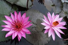 Couple Of Lotuses In Lake Toba. Royalty Free Stock Photography