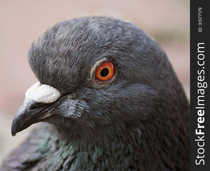 Pigeon &x28;Columba livia&x29;