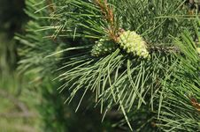 Free Pine With Cones Closeup Stock Images - 31580644