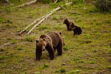 Free Grizzly Family Royalty Free Stock Images - 31580969