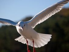 Free Seagull Royalty Free Stock Photos - 31581378