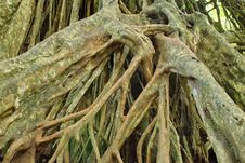 Large Roots. Royalty Free Stock Images