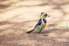 Free Crested Barbet Scavenging For Food On The Ground Stock Images - 31588274