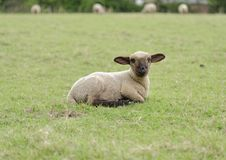 Free Cute Lamb Stock Photography - 31589092
